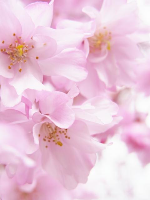 東谷山フルーツパークしだれ桜まつり