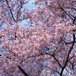 弘前公園 桜の花見 弘前さくらまつり2015年の開催はいつまで?見頃はいつ?