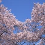 春日城址公園(長野県伊那市)の桜は高遠城址の混雑を避けて静かに楽しみたい人にぴったり!その理由は…