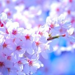上野恩賜公園での花見見物、うえの桜まつり2015年はいつまで開催?
