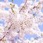愛知県清須市のシンボル的清洲公園で桜の花見はいかが?