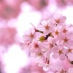 目黒川のお花見穴場ポイントを勤務地が近い友人に聞いてみました!
