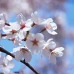 浜松城公園 桜 ライトアップはいつまで?駐車場と交通アクセス情報