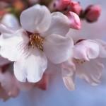 王子公園は夜桜通り抜けが大人気!カップルでロマンチックな春のデートを