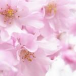 東谷山フルーツパークはしだれ桜まつりで有名な子連れの桜見で人気のスポット!