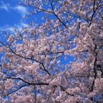 京都府立植物園の駐車場は混む?2015年の桜の花見シーズンはいつまで?