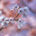宮城 大河原 一目千本桜 桜まつりはいつまで?駐車場と電車、交通アクセスは何がおすすめ?