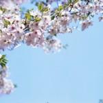 大阪城公園での花見、ズバリ桜見物でいいところは?大阪の友人に聞いてみました
